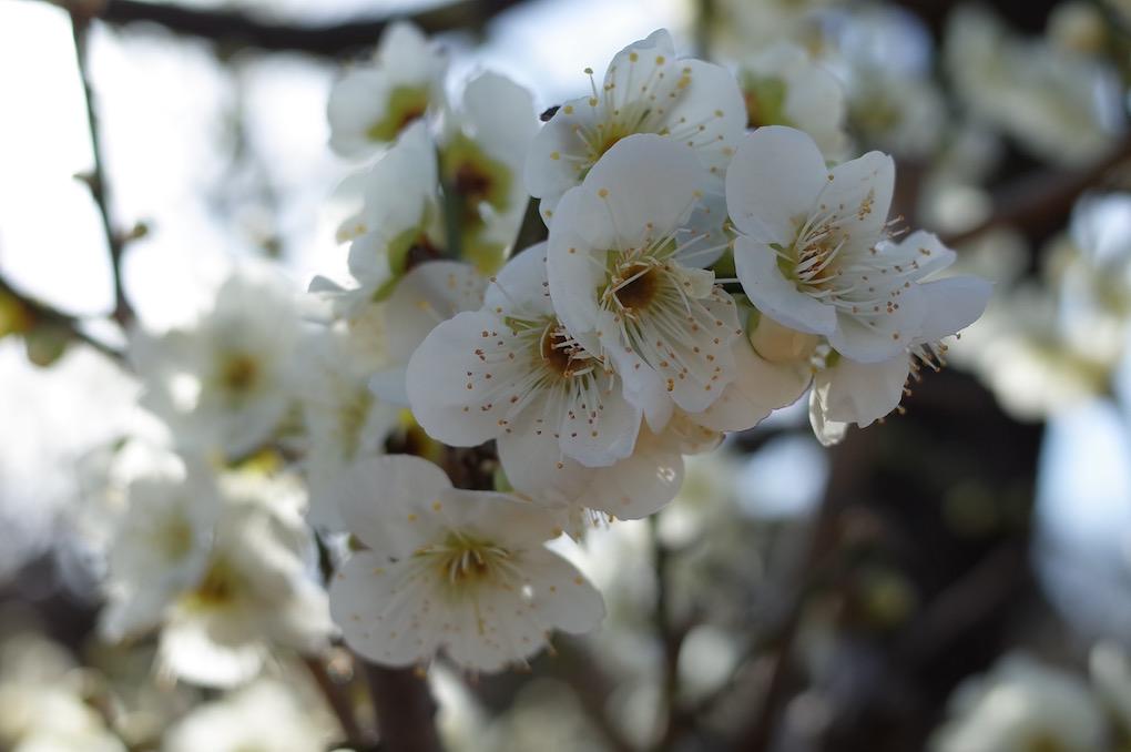 緑萼 20180218 大阪城梅林