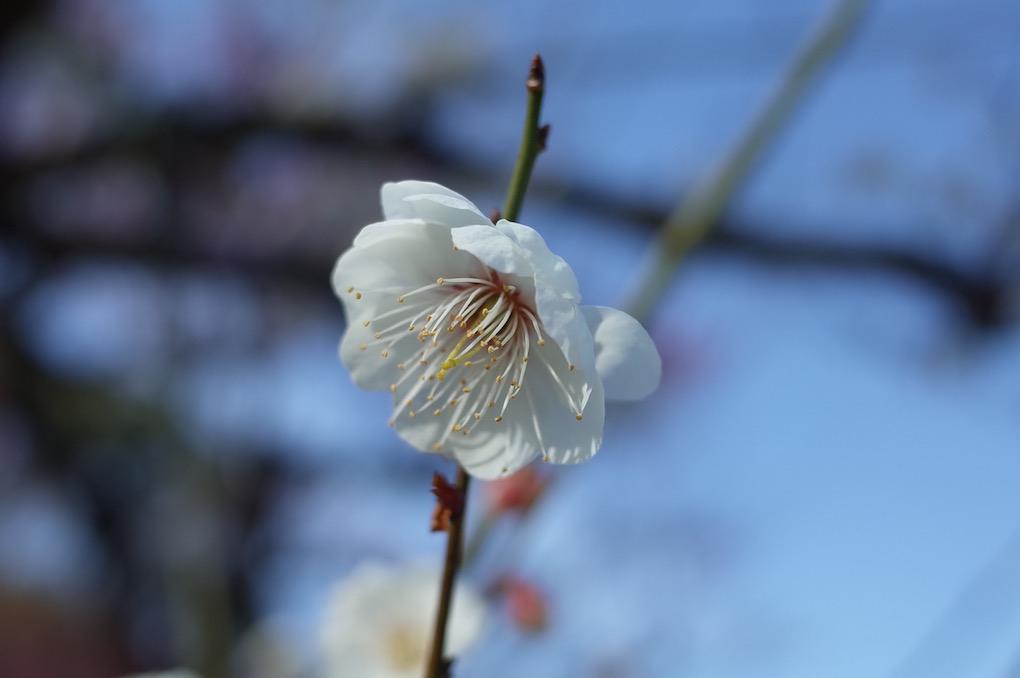 八重海棠 20180218 大阪城梅林